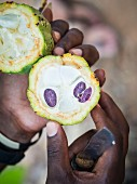 A person holding an opened cacao fruit (Zanzibar)