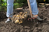 Freshly dug potatoes in garden