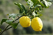 Lemons on the branch