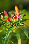 Colourful rainbow chillis in a garden on a plant