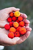 Hands holding arbutus - strawberry tree fruit
