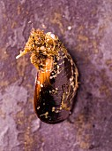 A fresh mussel (seen from above)