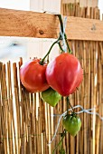 Tomatoes tied to a wooden plank