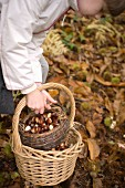 A girl collect chestnuts in a forest