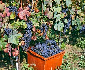 Harvesting Dolcetto grapes in vineyard of Poderi Marcarini. La Morra, Piemonte, Italy.