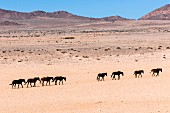 Desert horses plodding through the barren desert landscape near Aus, Namibia