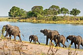 A herd of elephants at Horseshoe Bent, Bwabwata National Park, Caprivi, Namibia