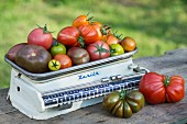 Various types of colourful, different shaped tomatoes on an historic pair of kitchen scales in a garden