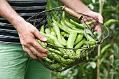 A man in a garden holding a basket of freshly harvested broad beans
