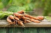 Frisch aus der Erde gezogene Karotten im Garten auf einer Holzunterlage