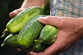 A man in a garden holding freshly harvested pickling cucumbers