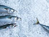 Fresh mackerel on ice