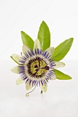 A passionflower on a white surface