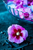 Hibiscus petals in a bowl of water (for making syrup) with a whole flower in the foreground