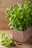 Fresh basil in a wooden crate