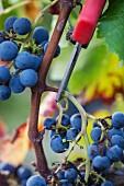 Ripe grapes being but from a vine
