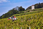 Harvesting Trousseau grapes in vineyard of Domaine André et Mireille Tissot below their La Tour de Curon. Arbois, Jura, France. [Arbois]