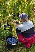 Weinlese von Trousseau Trauben im Weinberg der Domaine Andre et Mireille Tissot bei Arbois, Jura, Frankreich