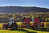 Trousseau Trauben nach der Weinlese sortieren im Weinberg von Domaine Daniel Dugois (Les Arsures, Jura, Frankreich)