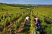 Picking Chardonnay grapes in Marcette vineyard of Domaine de la Renardière. The pickers in foreground are putting the bunches into small boxes to be dried for Vin de Paille. Pupillin, Jura, France. [Arbois-Pupillin]