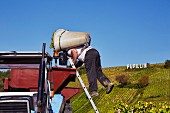 Hod carrier tipping Chardonnay grapes into trailer in Marcette vineyard of Domaine de la Renardière. Pupillin, Jura, France. [Arbois-Pupillin]