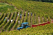 Harvesting Savagnin grapes for the Fruitière Vinicole de Voiteur in Clos Bacchus vineyard at Menétru-le-Vignoble. Jura, France. [Château-Chalon]