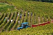Weinlese von Savagnin Trauben für den Fruitiere Vinicole de Voiteur im Clos Bacchus Weinberg in Menetru-le-Vignoble, Jura, Frankreich