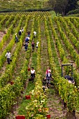 Harvesting Savagnin grapes in Le Nid vineyard of Domaine Courbet. Château-Chalon, Jura, France. [Château-Chalon]