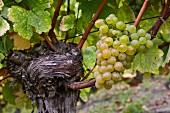 Savagnin grapes on old vine. Château-Chalon, Jura, France. [Château-Chalon]