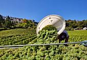 Arbeiter kippt Trauben aus einer Butte in Anhänger (Weinberg von Joseph Mellot unter dem Hügel der Stadt Sancerre (Cher, Frankreich)