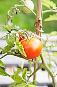 Ripe and unripe tomatoes on a vine