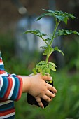 A child holding a tomato plant