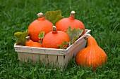 Orangefarbene Kürbisse im Spankorb auf Wiese