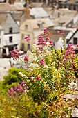 Flowers on the hills above Port Isaac, Cornwall