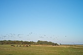 Pferde und Vögel auf der Insel Hiddensee zwischen Vitte und Kloster