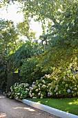 Hortensienbüsche neben Kiesweg in sommerlichem Garten