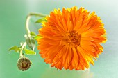 Calendulablüte und Knospe