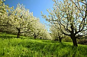 Flowering fruit trees (Pretzfeld Oberfranken, Germany)