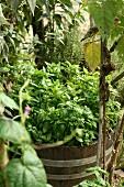 Basilikum im einem Holzfass im Garten