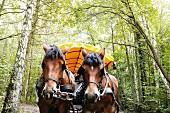 Unterwegs mit dem Pferde-Planwagen zum Darßer Weststrand an der Ostsee