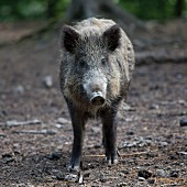 A live wild boar in a forest