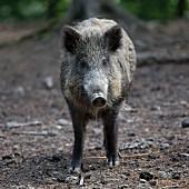 Lebendiges Wildschwein im Wald