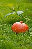 A Hokkaido pumpkin in green grass