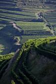 Weinlandschaft bei Oberbergen, Kaiserstuhl
