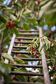 A cherry tree with a ladder