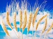 Weizenähren vor wolkigem Himmel