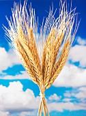 Gebündelte Weizenähren vor wolkigem Himmel