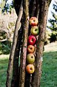 Verschiedene Apfelsorten von einer Streuobstwiese liegen hochkant zwischen Holzstecken an einem Baum