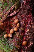Mehrere Haselnüsse auf Herbstlaub