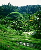 Rice terraces between palm trees, Bali, Indonesia